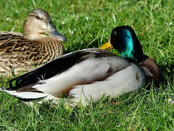 Rouen Drake - Hen | Duck | Duckling | Molting | Feather | Young