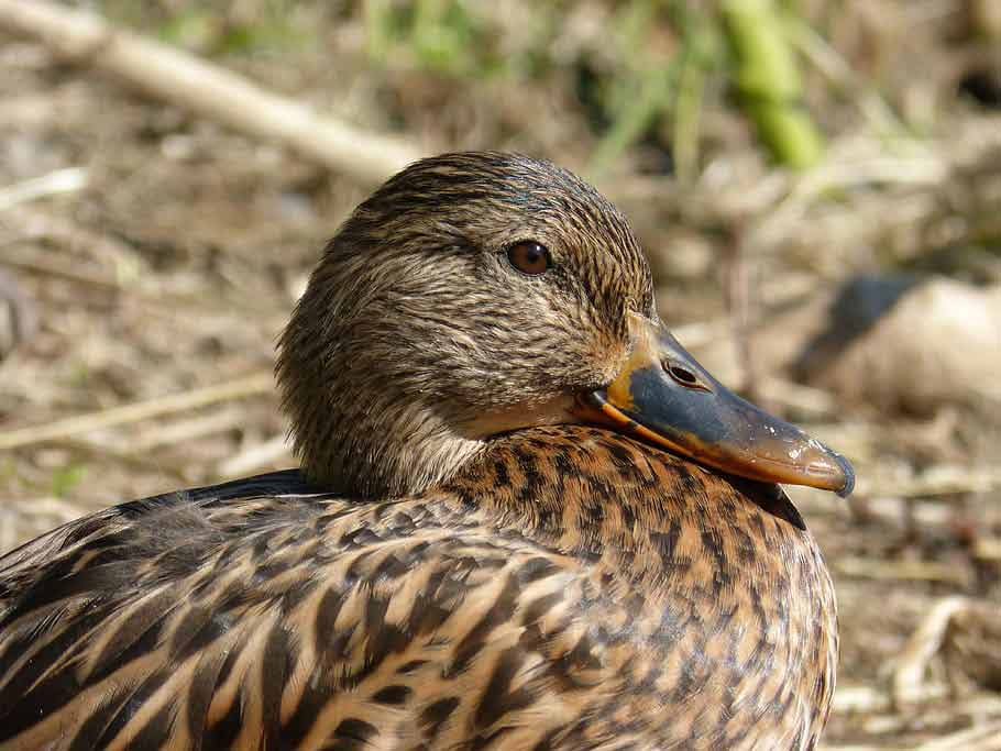 Rouen Duck - Profile | Facts | Eggs | Production | Lifespan