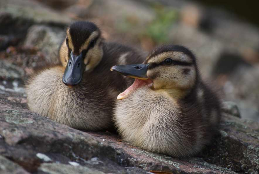 Rouen Ducklings - Male vs Female | Week By Week | Care