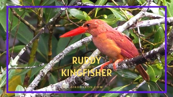Ruddy Kingfisher Bird - Profile | Facts | Call