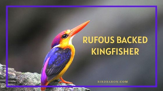 Rufous Backed Kingfisher - Profile | Facts | Call