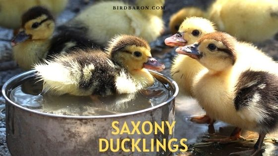 Saxony Ducklings - History | Care | Traits | Behavior | Facts