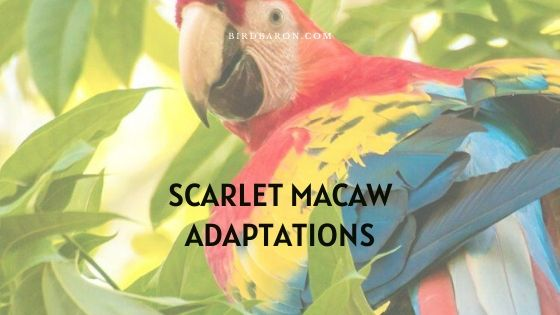 Scarlet Macaw Adaptations - How Do They Survive?