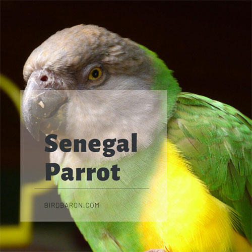 Senegal Parrot - Facts, Habitat, Behavior, Feeding and Sound