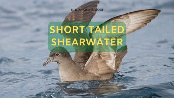 Short Tailed Shearwater - Yolla, Moonbird, Muttonbird