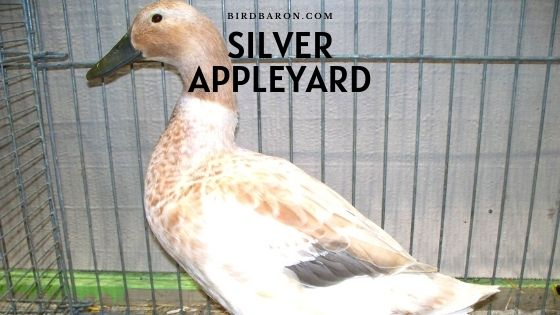 Silver Appleyard - Profile | Farming | Eggs | Care | Facts