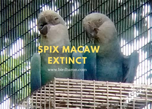 Spix Macaw Extinct - Is Spix Macaw on brink of extinction?