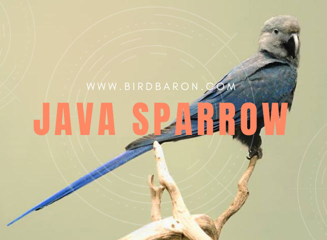 Spix's macaw - Facts | Size | Habitat | Lifespan | Population