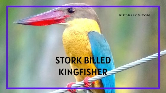 Stork-billed Kingfisher Bird - Profile | Facts | Description