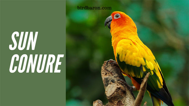 Sun Conure or Sun Parakeets - Life Span | Food | Price