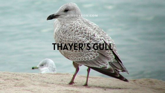 Thayer's Gull (Larus glaucoides thayeri) Facts
