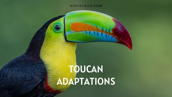 Adaptations Toucan - Comment survivent les Toucans