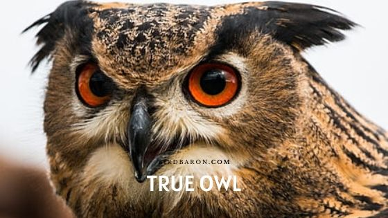True Owl Facts - Habitat | Communication | Predator