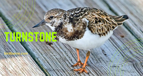 Turnstone Bird Facts You Didn't Know