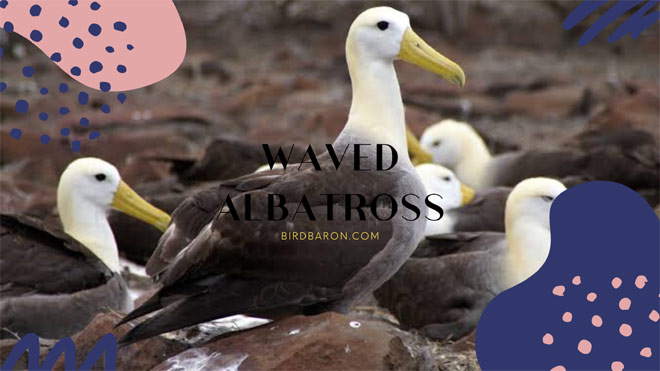 Waved albatross Facts