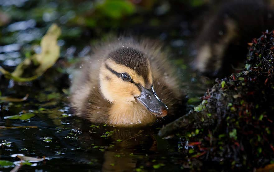 Welsh Harlequin Ducklings - Care | Breed | Growth