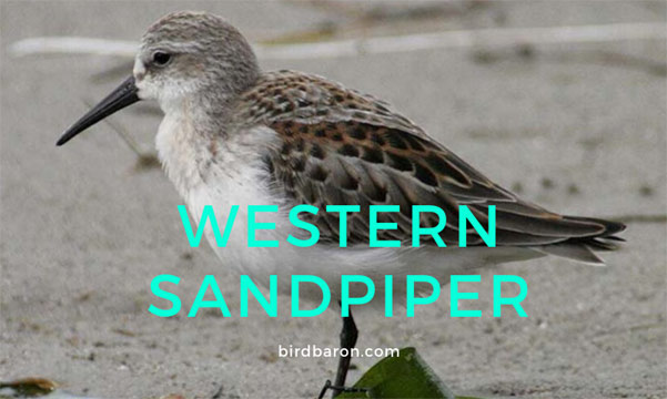 Western Sandpiper - An Introduction