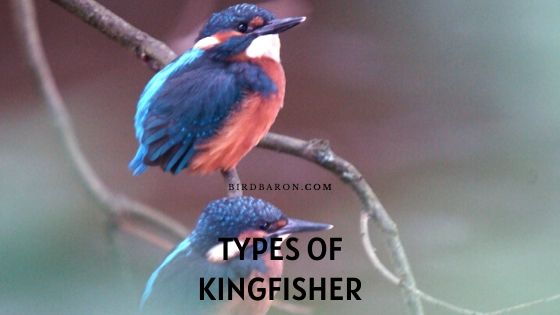 What are the Different Types of Kingfisher Birds?