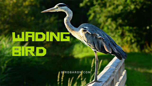 What are Wading Birds?