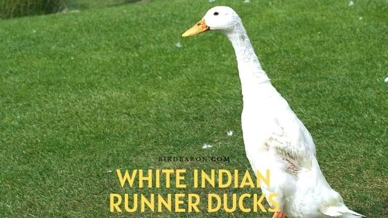 White Indian Runner Ducks - Eggs | Care | Description
