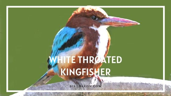 White Throated Kingfisher Bird - Description and Facts