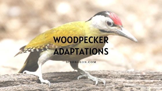 Woodpecker Adaptations - How Do They Survive