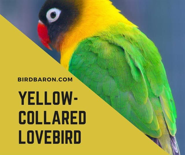 Inséparable à collier jaune (Agapornis personatus)