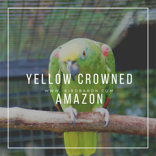Yellow Crowned Amazon Bird with talking Skill