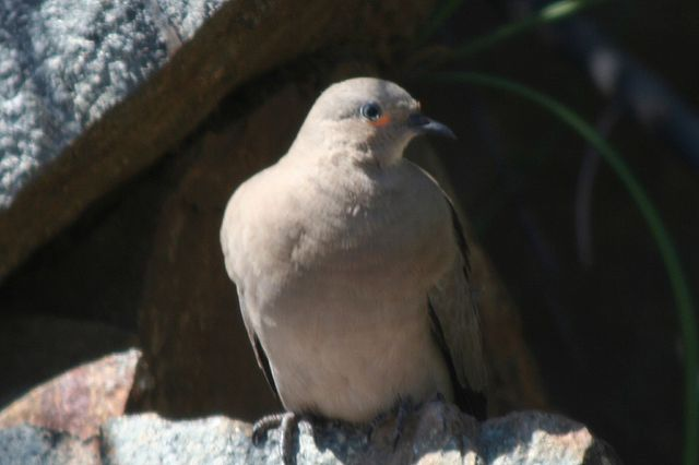 Earthen dove-metropelia