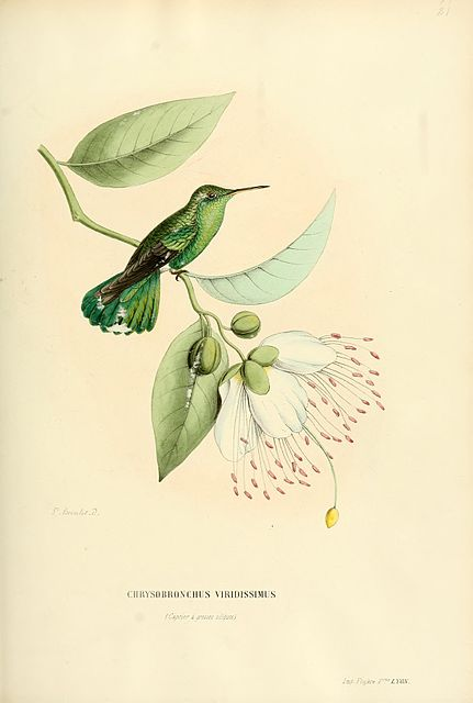 White-tailed hummingbird - taxa of animals named after humans