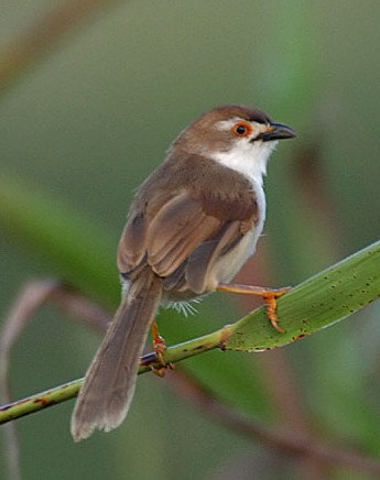 Pale-billed Mupinia / Chrysomma altirostre