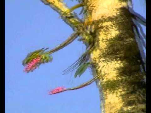 ਪੀਲੇ-llਿੱਲੇ ਵਾਲਾ ਟਾਇਡ ਪੈਰੀਡੇ ਪਰਿਵਾਰ ਤੋਂ ਛੋਟੀ ਕਿਸਮਾਂ ਦੀਆਂ ਕਿਸਮਾਂ ਹੈ ਜੋ ਪੱਛਮੀ ਅਤੇ ਮੱਧ ਚੀਨ ਵਿੱਚ ਰਹਿੰਦੀ ਹੈ