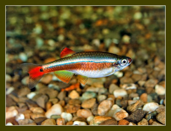 Cardinal - cold water fish with neon stripe