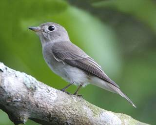Real flycatchers