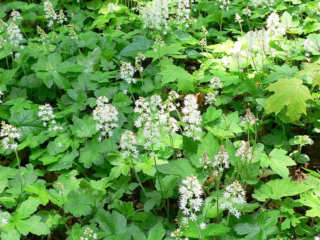 Tiarella: description and growing of a plant