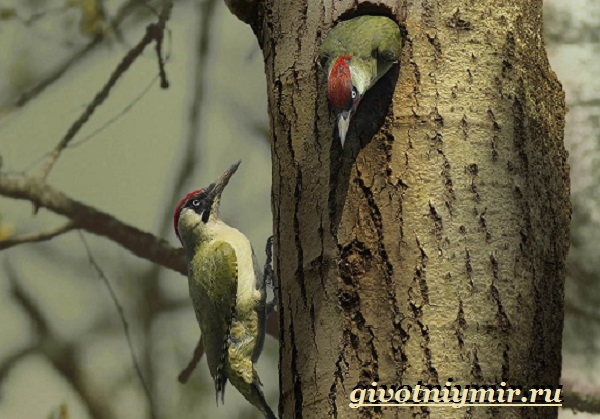 Description of the Green Gray Woodpecker from the Red Book