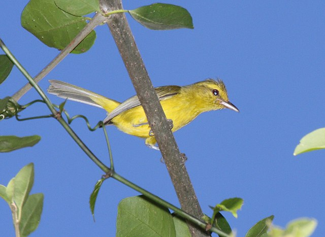 Golden Bellied Vireo / Vireo hypochryseus