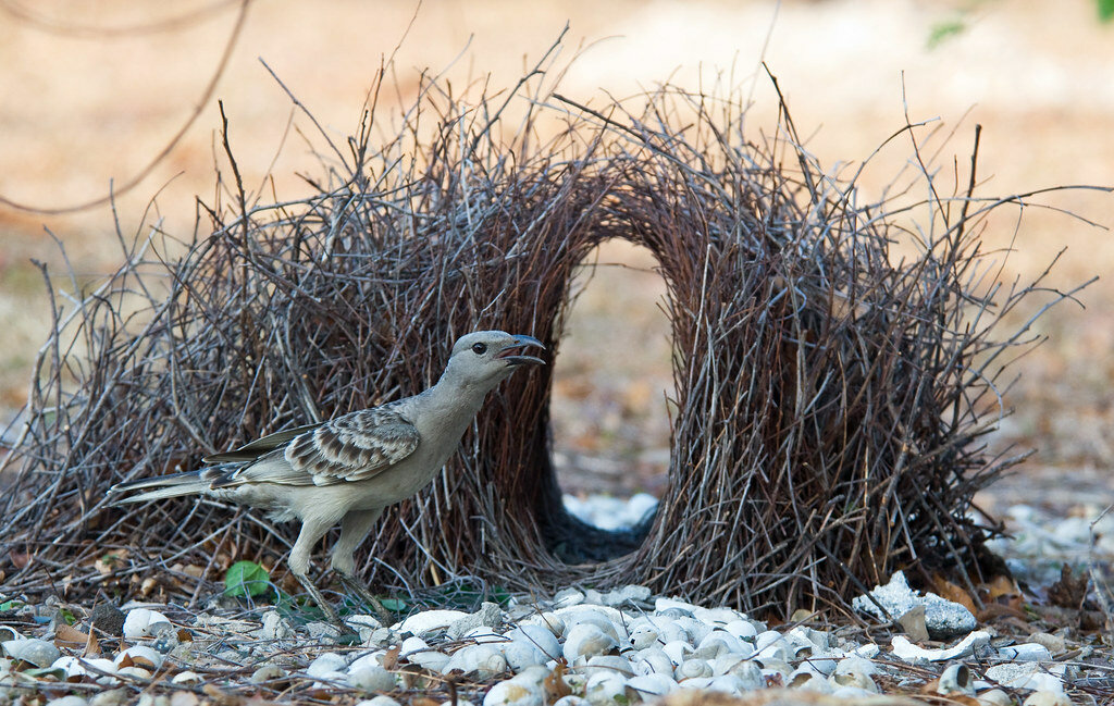 Skillful designers or what the bowerbirds are doing with their nests