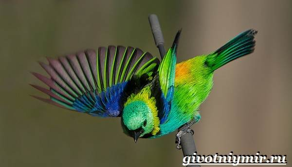 Ensiklopedie | Golden Wing Tanager - Wiki