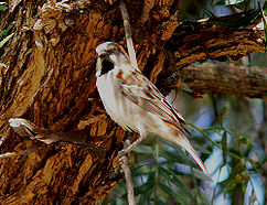 REAL SPARROWS (Passer)