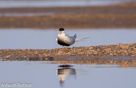 Tern Trudeau - a species of terns