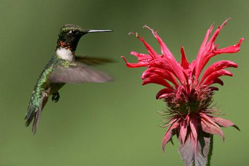 Bee Hummingbird / Mellisuga helenae