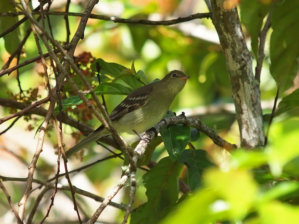 Short-billed Palm Tyrant / Myiozetetes luteiventris