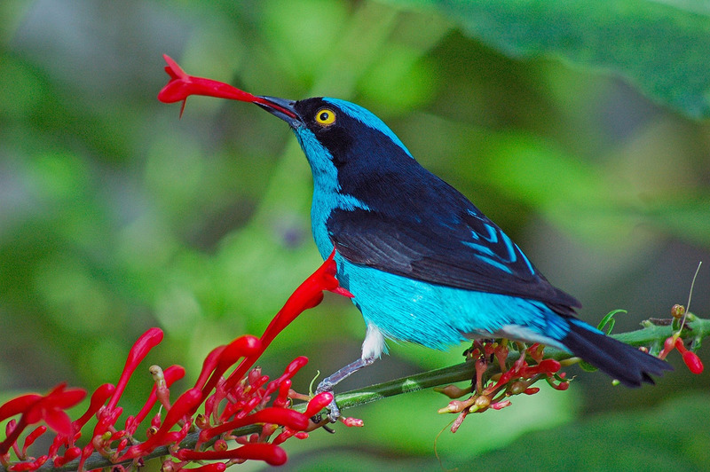 Scientists have decoded the genomes of five species of birds of paradise