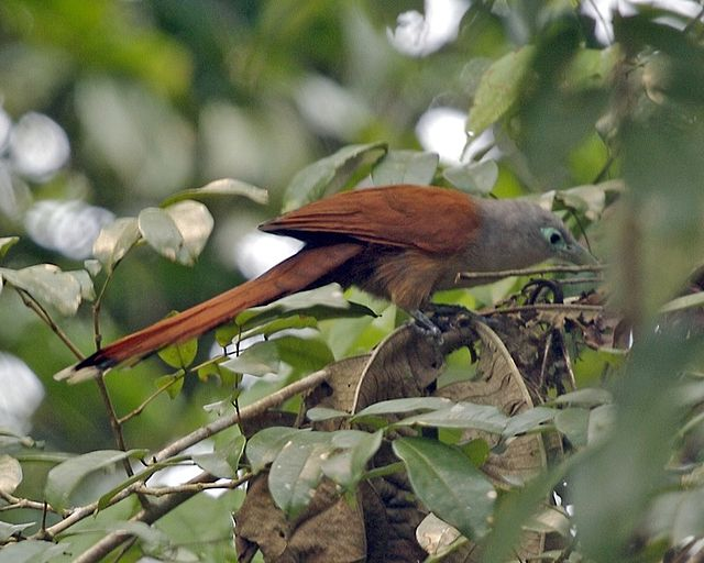 Encyclopedia | Malay bush cuckoo - Wiki