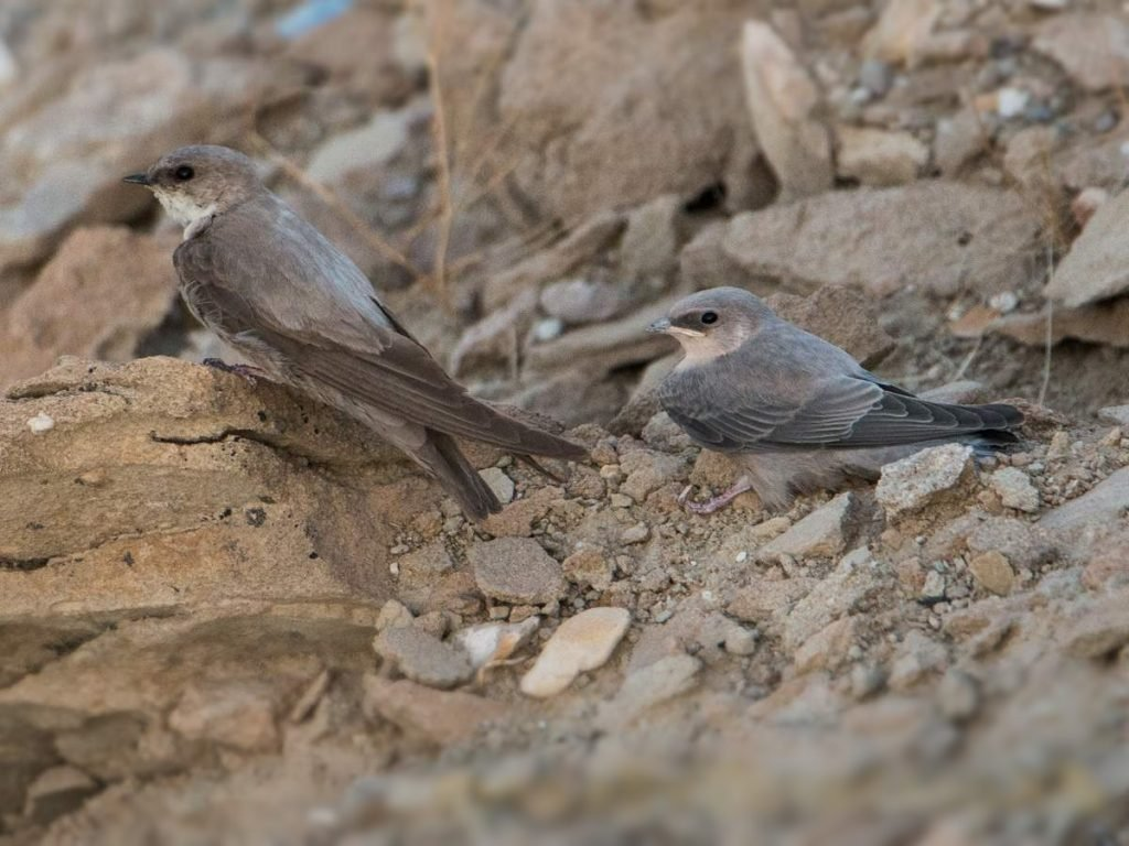 Rock swallow, feathered climber