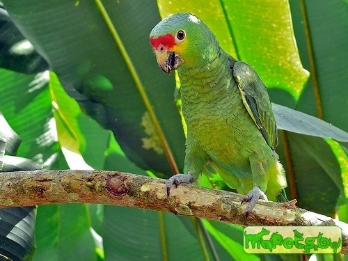 Red-throated Amazon / Amazona arausiaca