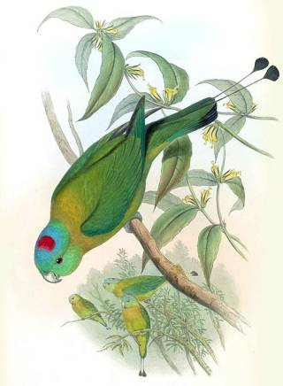 Red-capped rocket-tailed parrot