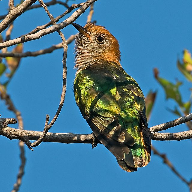 Red-necked Bronze Cuckoo / Chrysococcyx ruficollis