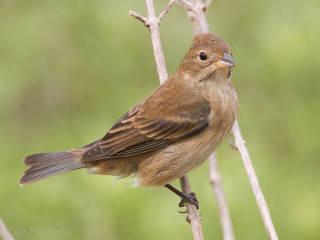 Indigo Bunting Cardinal 15 cm długości, samiec i samica mają różne upierzenie